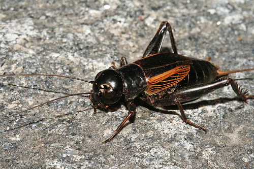 blackcricket
